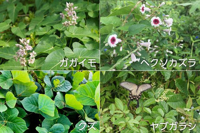 蔓性の植物